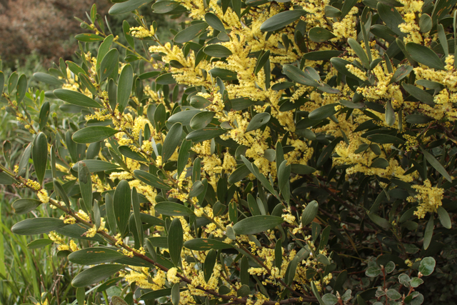 Acacia Longifolia Ssp Sophorae Coastal Wattle Westgate