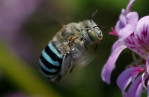 Blue banded Bee - Amegilla sp.