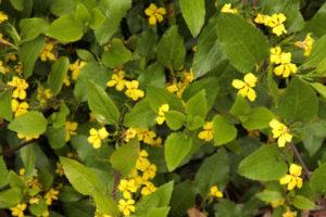 Goodenia ovata (file pic)