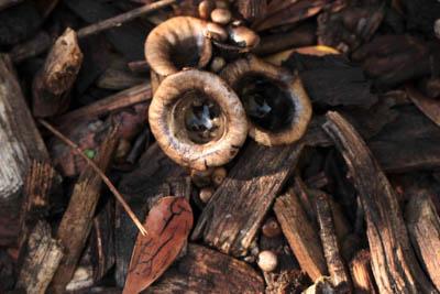 Bird's nests (the fungal sort)
