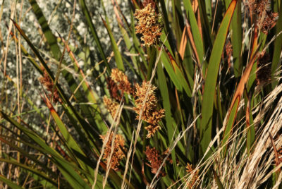 Flowering now – the sedges