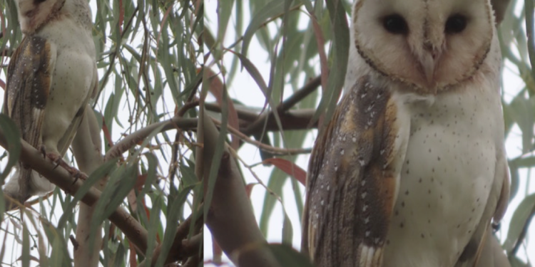 6 July Bird Survey finds Barn Owl